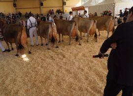 Exposição de gado Jersey de Braço do norte será realizada de 12 a 15 de Outubro